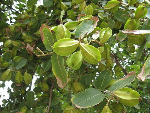 Arjuna Tree: Qualities, Benefits and Natural Remedies According to Ayurveda