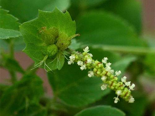 Medicinal Properties of Acalypha Indica in Traditional Siddha Medicine