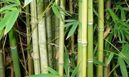 Qualities and Benefits of Bamboo According to Ayurveda