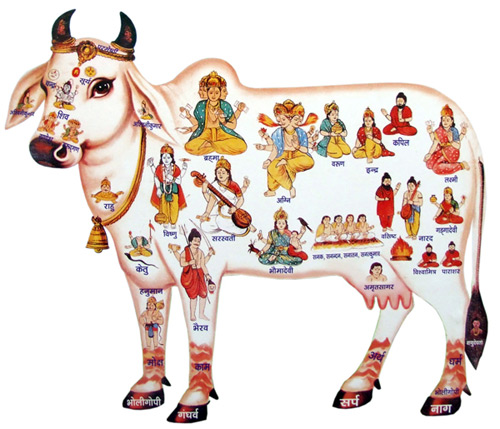 Cow Urine Can Cure Many Diseases