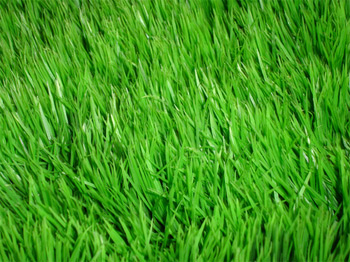 The Medicinal Qualities and Benefits of Common Grass According to Ayurveda