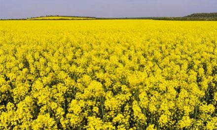Improve the Health with Sesame, Rapeseed, Linseed and Groundnut