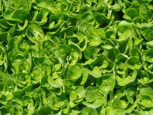 Spinach as a Natural Ayurvedic Medicine