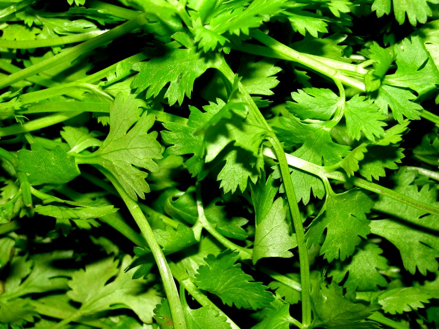 A_scene_of_Coriander_leaves
