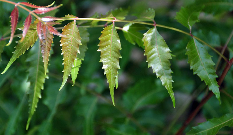 Neem Tree - One of the Most Beneficial Plants for the Human