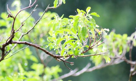 Tulsi: The Queen of Herbs According to Ayurveda