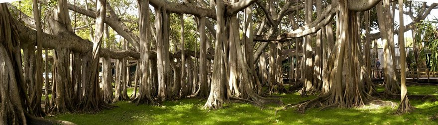 banyan-tree-08