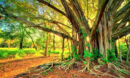 Benefits of Banyan Tree According to Ayurveda