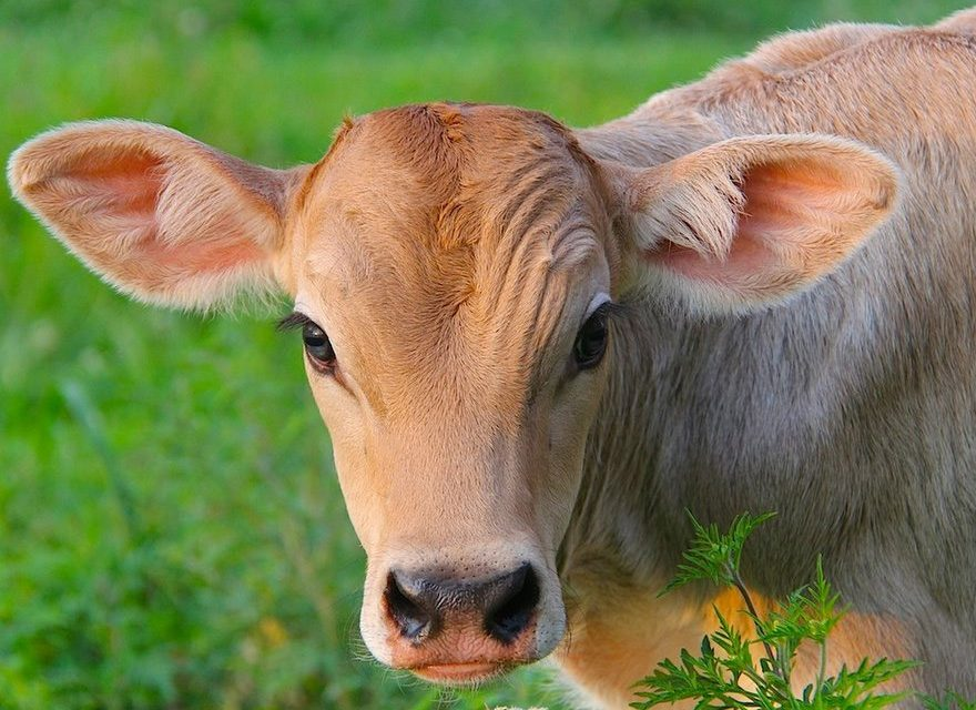 Benefits of Cow Protection as Per Science