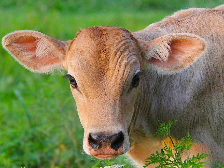 vaca-02