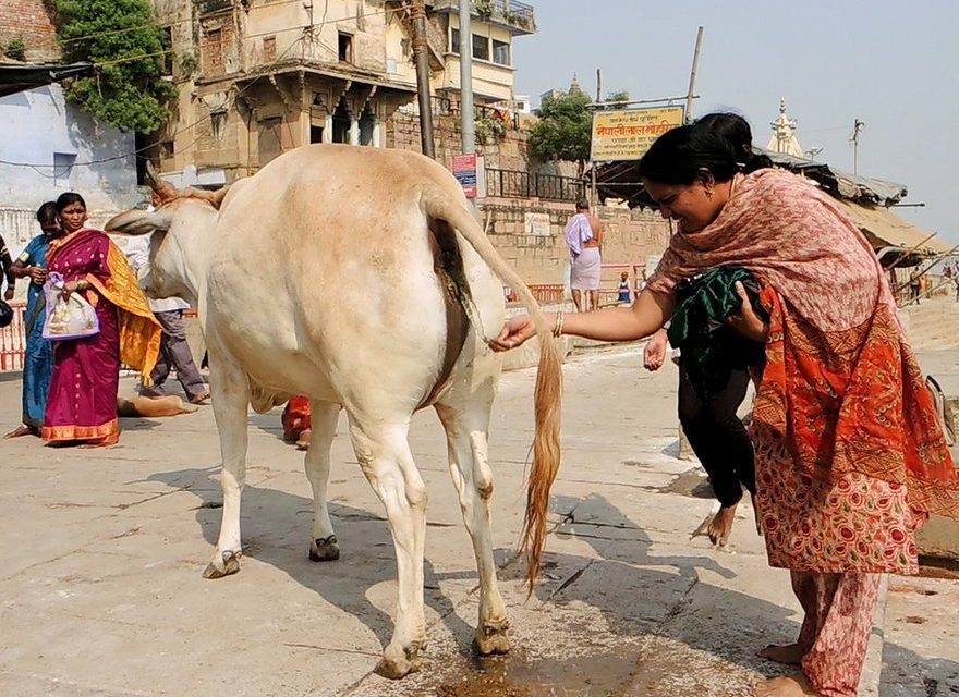 Cow Urine For Your Skin? Panchgavya Repackaged for a New Gen