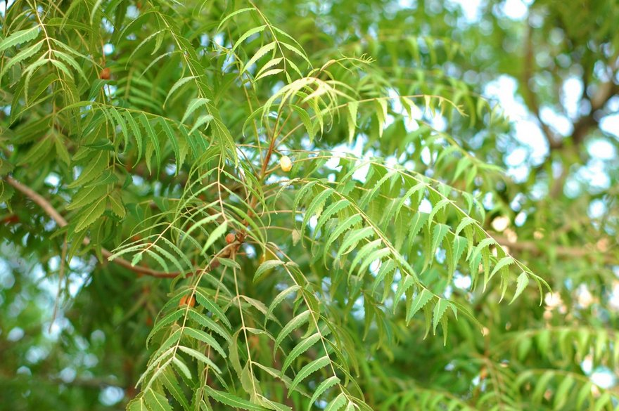 Health Benefits and Uses of Neem