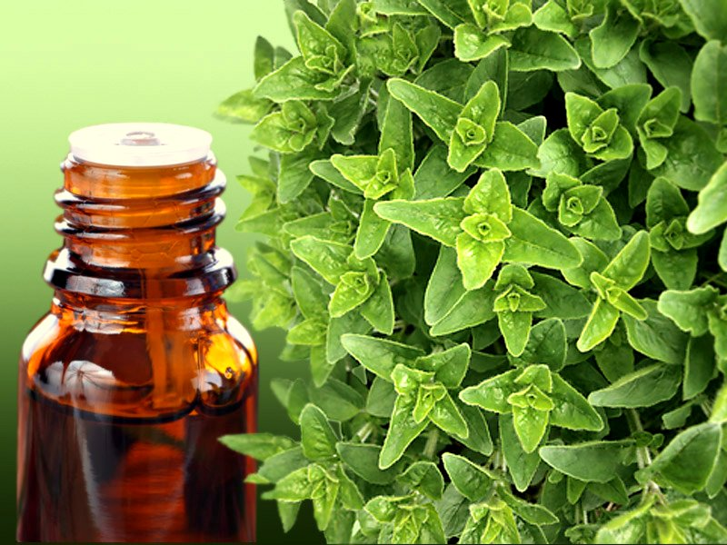 Aceite de Orégano: Uno De Los antibióticos último efectivos de la Naturaleza