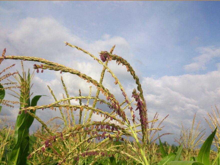 Health Benefits of Ragi or Finger Millet