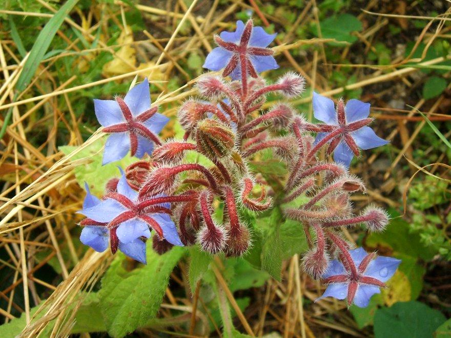 Borage (Echium amoenum)