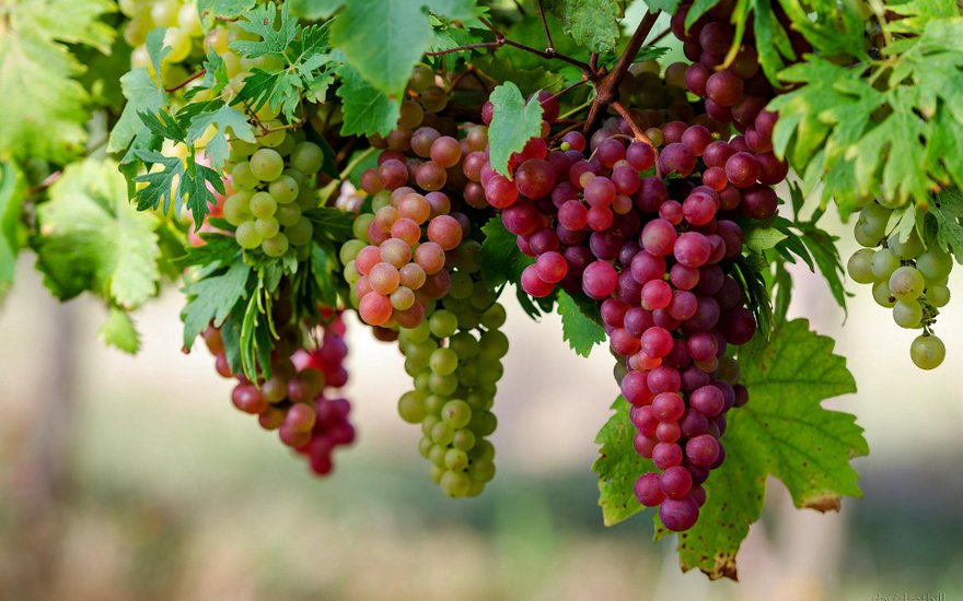 Health Benefits of Grapes in Ayurveda