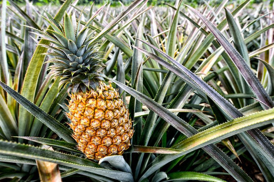 pineapple-02