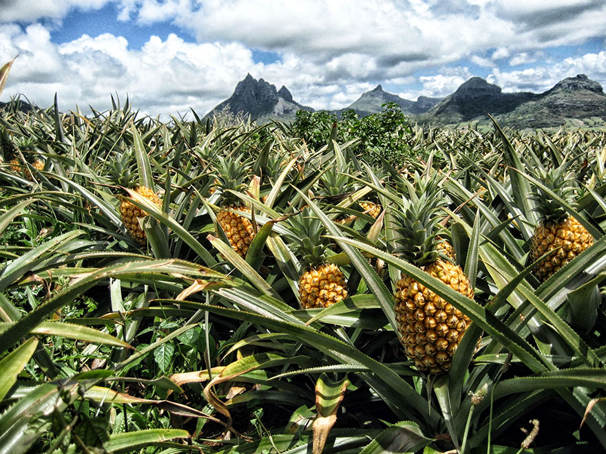 pineapple-03