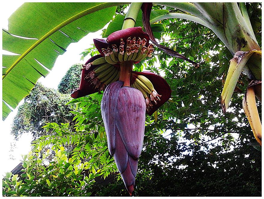 banana-flower-02
