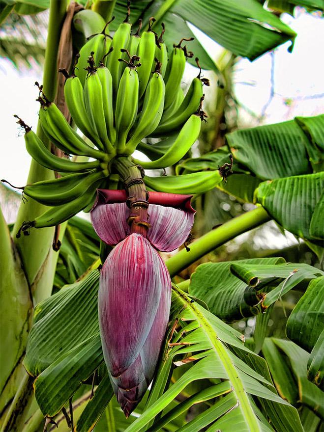 banana-flower-03
