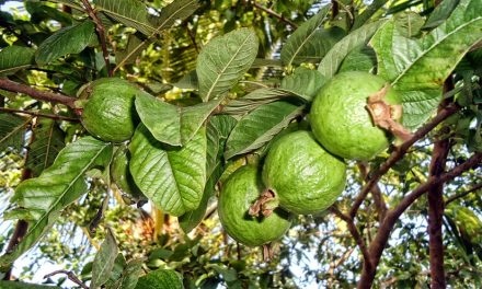 Guava Leaves Can Stop Hair Loss… and Many Other Benefits