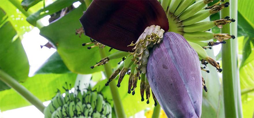 banana-flower-01