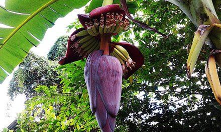 Powerful Health Benefits of the Banana Flower