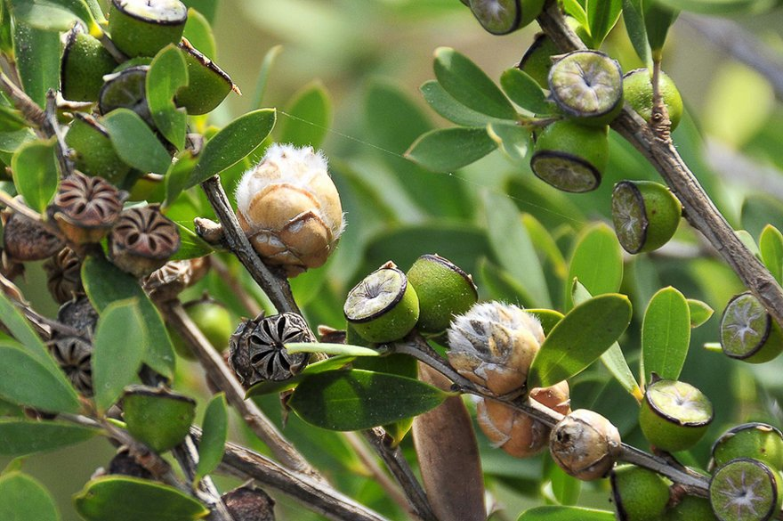 Ayurvedic Remedies with Tea Tree Oil