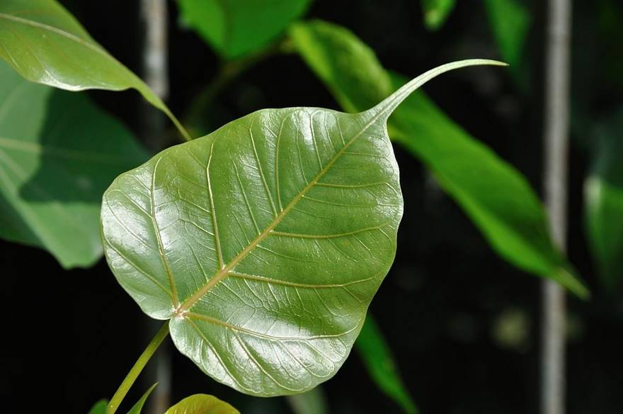 15 Health Benefits of the Peepal Tree