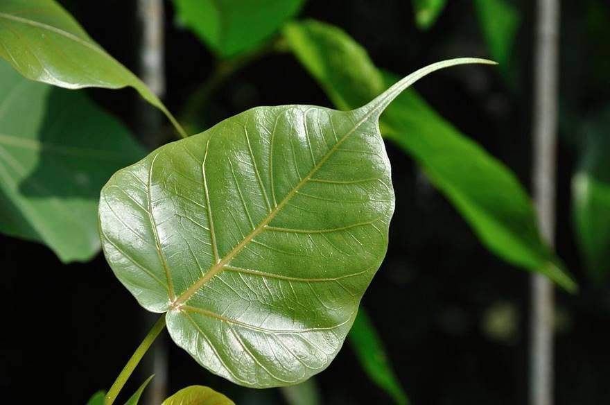 15 Health Benefits of the Peepal Tree